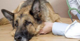Como usar o chá natural para tratar cachorros doentes