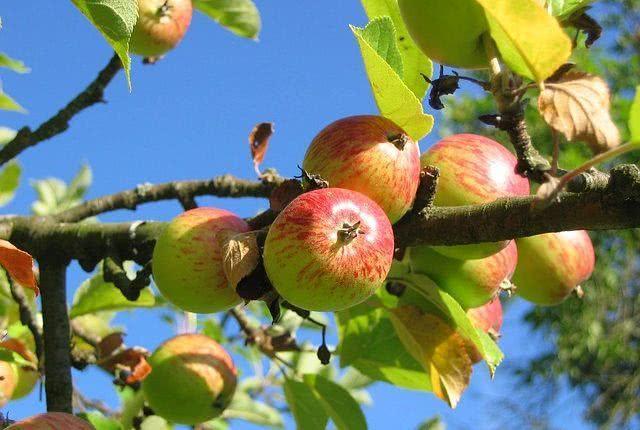 conheca-chas-para-tratar-casos-de-intoxicacao-alimentar-macieira