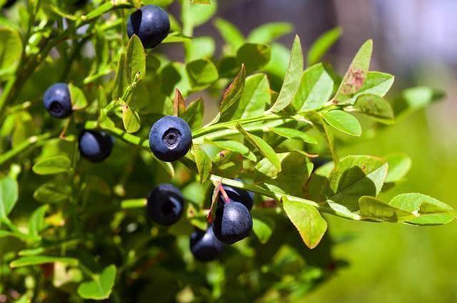Imagem de folhas de mirtilo junto de frutos