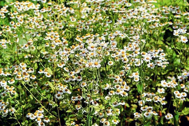 10-ervas-medicinais-que-curam-enfermidades-atraves-de-chas camomila