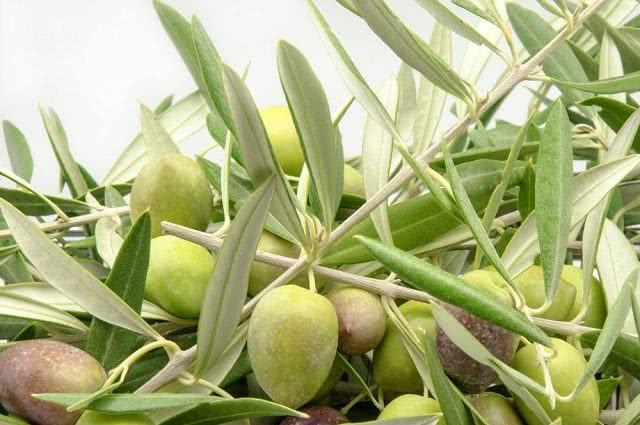 Chá da oliveira combate o Alzheimer e a diabetes