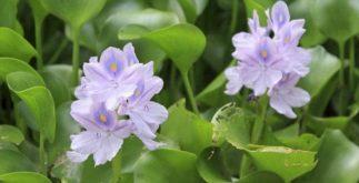 Chá de aguapé: benefícios e propriedades