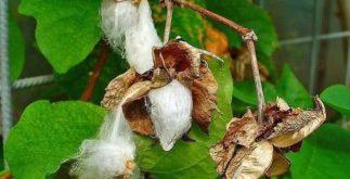 Chá de algodão de malta: benefícios e propriedades