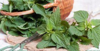 Chá de urtiga é capaz de equilibrar a glicose do corpo