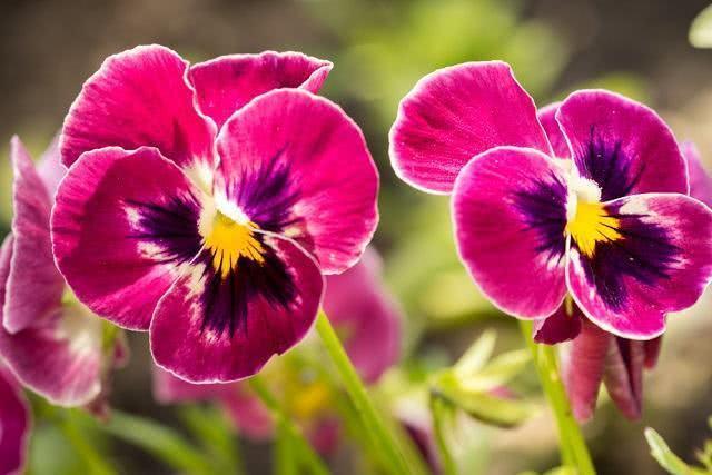 Conheça os benefícios do chá de amor perfeito bravo