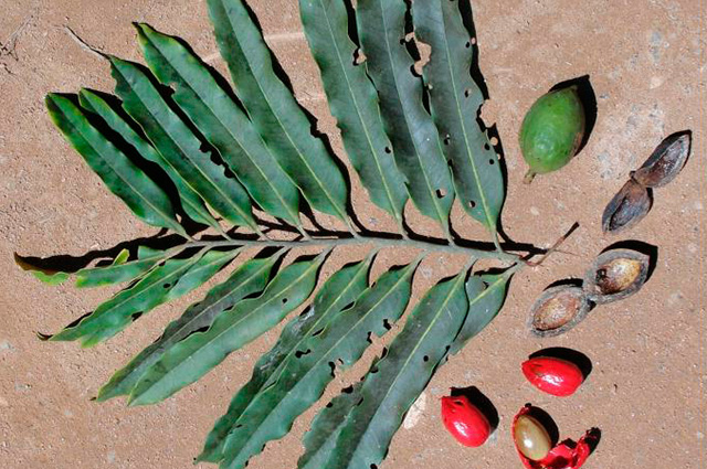 Folha de bicuiba ao lado de frutos