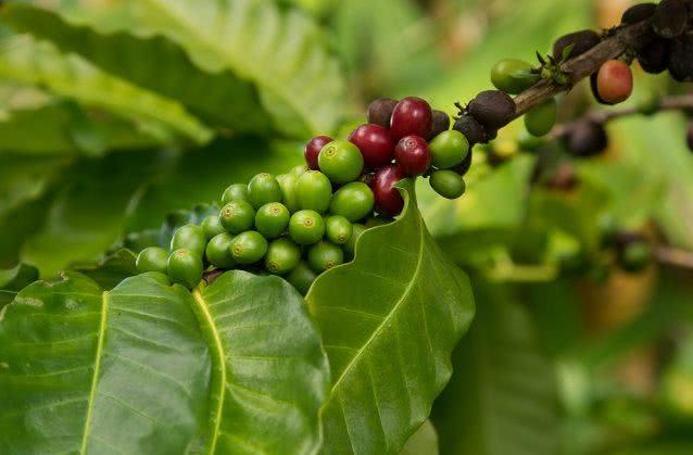 Chá das folhas de coffea arabica (café) para cólicas