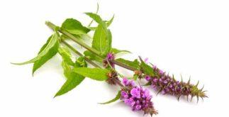 Chá de betônica: para tratar doenças físicas e mentais