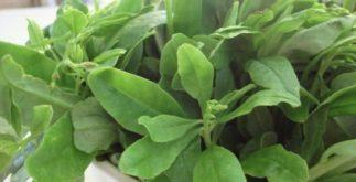 Chá de bredo: um poderoso antisséptico para o corpo