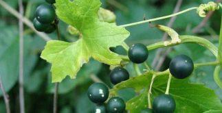 Chá de briônia: um purgante que combate doenças