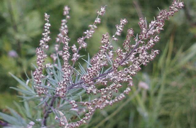 Os benefícios e as propriedades do chá de artemísia