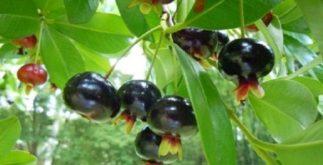 Controle a pressão com chá de cereja brasileira