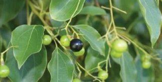 Chá de cânfora: planta asiática para dores musculares