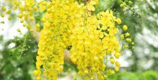 Chá de chuva de ouro alivia sintomas do reumatismo