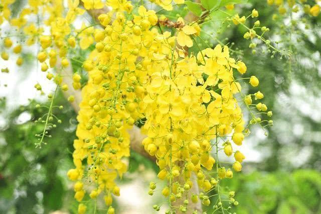 cha-de-chuva-de-ouro-alivia-sintomas-do-reumatismo