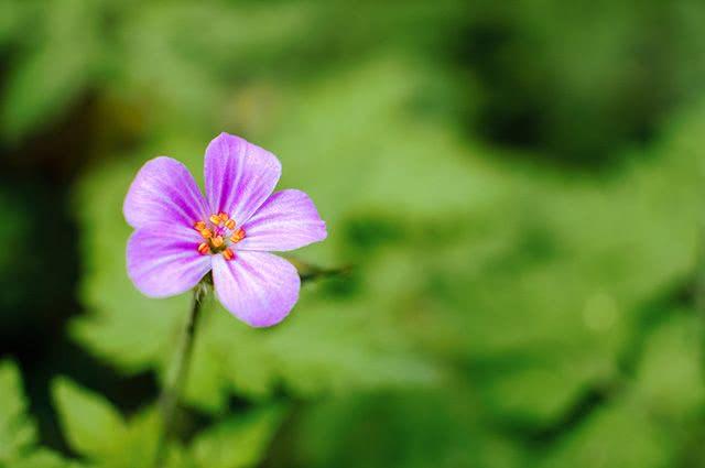 Benefícios e propriedades do chá da erva de São Roberto