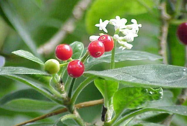 Chá de ipecuanha: trate problemas digestivos com ele