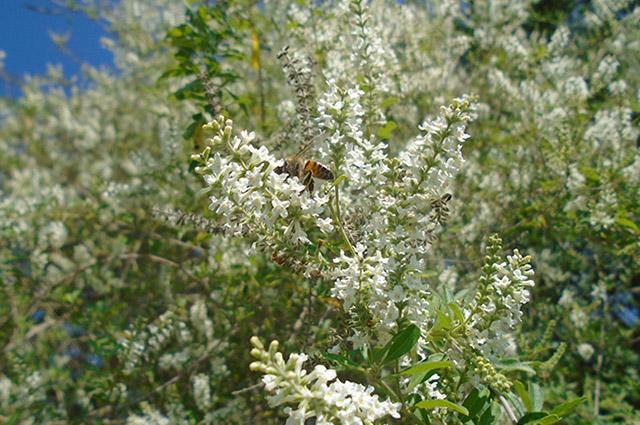 Galhos da erva santa com flores brancas