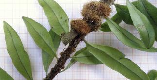 O chá da erva silvina trata gripes, tosses e bronquites