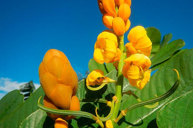 Ramo de fedegoso gigante com flores amarelas na ponta