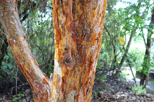 Tronco da árvore imburana de cheiro