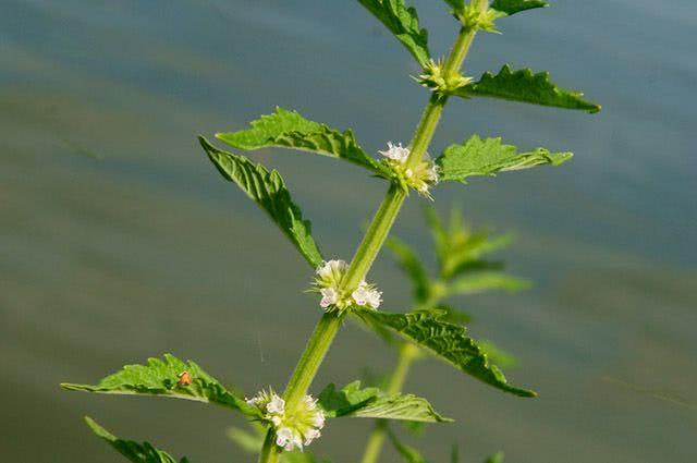 Benefícios e propriedades do chá de licopus