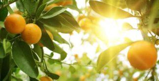 Chá das folhas da laranja azeda trata de depressão a diarreia