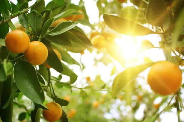 Chá das folhas de laranja azeda trata de depressão a diarreia