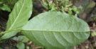 O chá de guine pipi combate dores de cabeça, garganta e cólicas