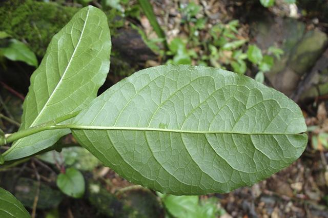O chá de guine pipi não é indicado para consumo e sim para gargarejos