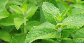 Chá de hortelã miúda combate vermes; veja benefícios e propriedades