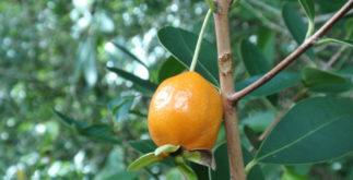 Para que serve o chá de laranjinha do mato? Veja benefícios