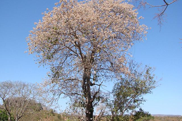 Chá de louro preto tem muitos benefícios e sua parte usada são as cascas do caule