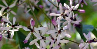 O chá de lilás da Índia é eficaz na higienização de feridas