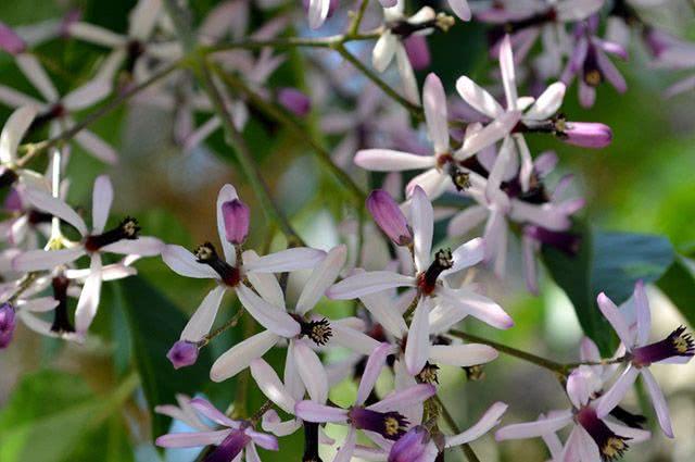 Propriedades e benefícios do chá de lilás da Índia