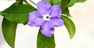 Use o chá de manacá para o tratamento e cura de muitas doenças