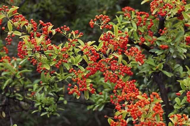 A planta mais utilizada na medicina alternativa é a aroeira mansa
