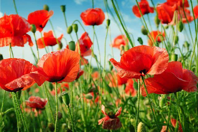 Chá da papoula da flor vermelha é um excelente calmante