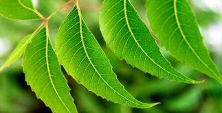 Chá de nim indiano: cultura asiática utiliza a planta como desintoxicante