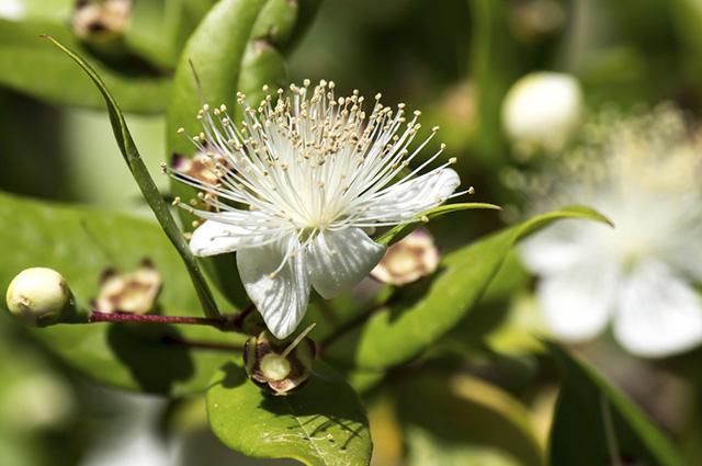 O chá de murta é um poderoso remédio contra problemas respiratórios, como tosse e bronquite