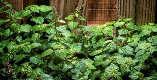 Chá de patchouli aliado da pele e do bem-estar