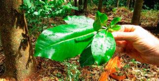 Benefícios e propriedades do chá de Pau d'alho
