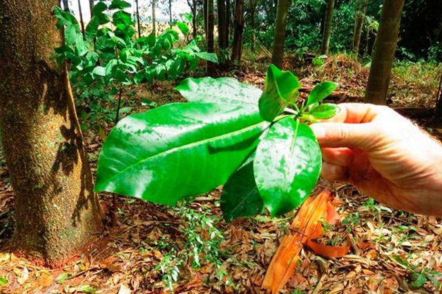 O chá de Pau d'alho é rico em benefícios e propriedades podendo tratar gripes e reumatismos