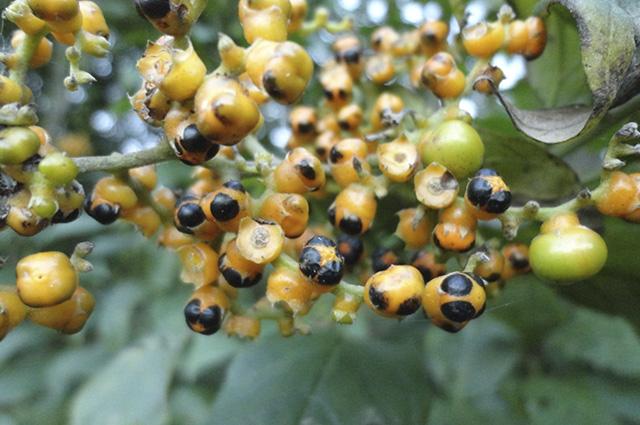 Entre os benefícios do chá de marmelinho está o tratamento da cistite