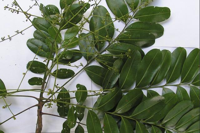 O marupá também recebe os nomes de arubá, marubá, marupá-verdadeiro, paraúba e simaruba