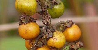 Chá de murici: benefícios e propriedades