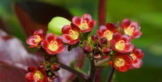 Se você tem reumatismo, o chá de pinhão roxo pode ajudar