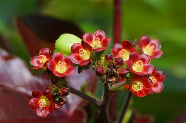 Benefícios e propriedades do chá de pinhão roxo