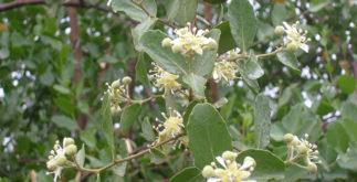 Chá de quilaia: propriedades e benefícios dessa bebida