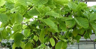 Benefícios e propriedades do chá de quina